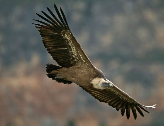 where to see vultures in spain