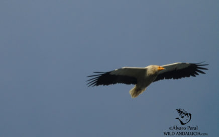 Egyptian Vulture Extremadura