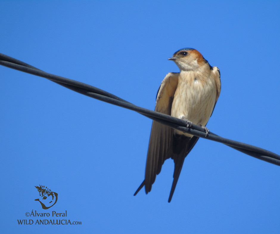 Red-rumped Swallow  while birding in the Cabo de Gata in Andalusia