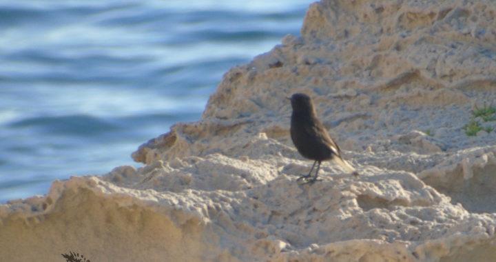 Black Wheatear while birding in the Cabo de Gata in Andalusia