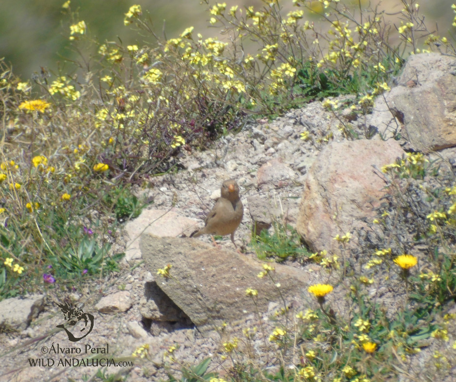 Trumpeter Finch - Wild Andalucia