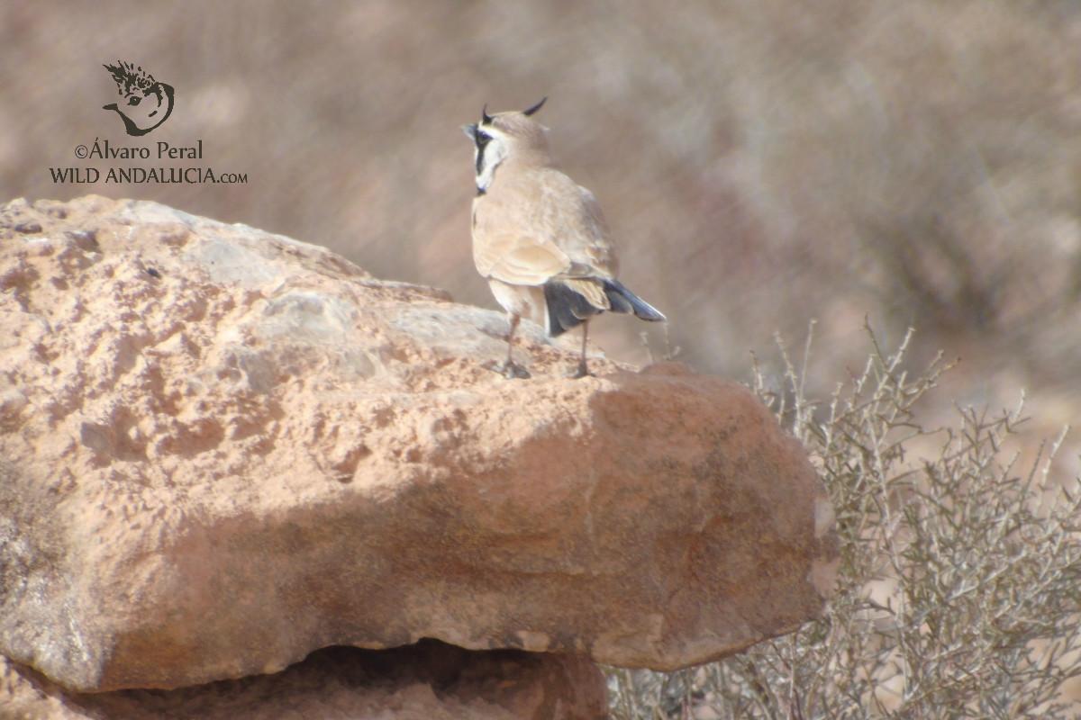 Alondra sahariana