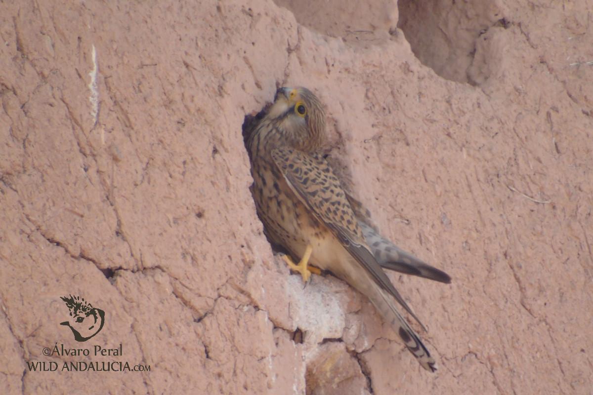 Cernícalo en la Kashba de Ouarzazate