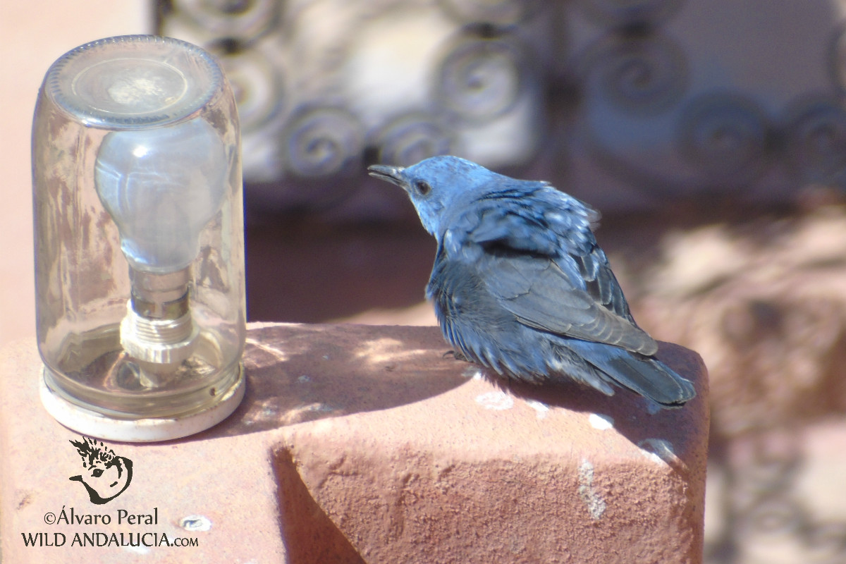 Blue Rock Thrush in Morocco