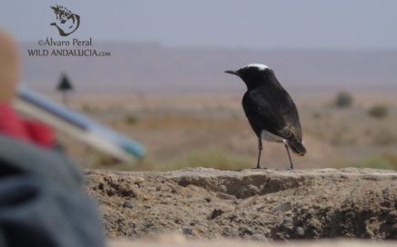 Morocco birding . White-crowned Wheatear