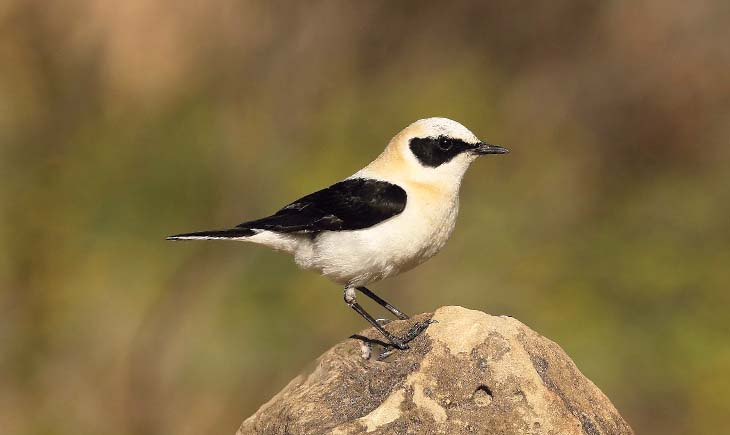 Black-eared Wheatear Spain