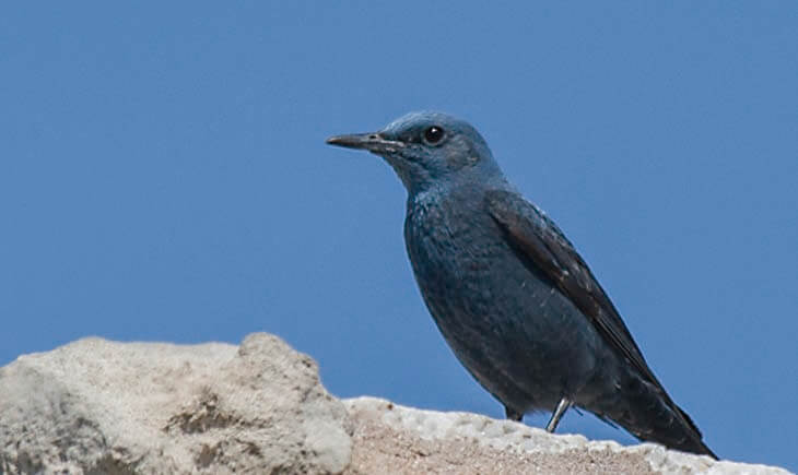 Blue rock Thrush Distribution