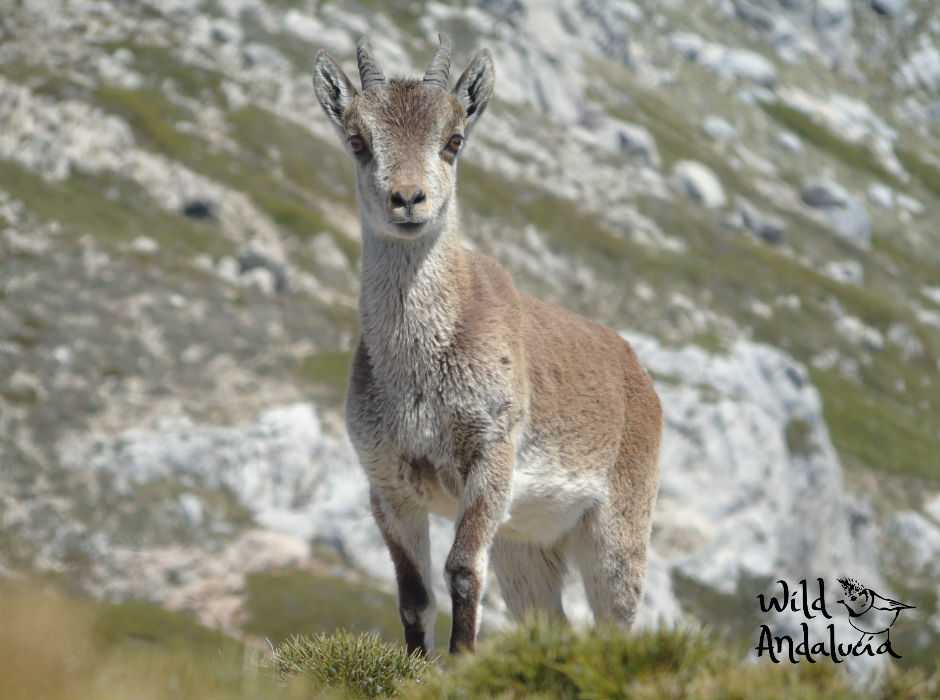Iberian Ibex Sierra Mágina in Jaén