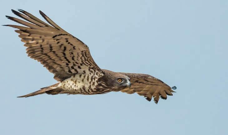 Short-toed Snake Eagle Andalucia