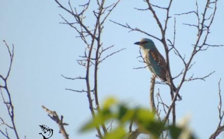 roller carraca roller birding seville