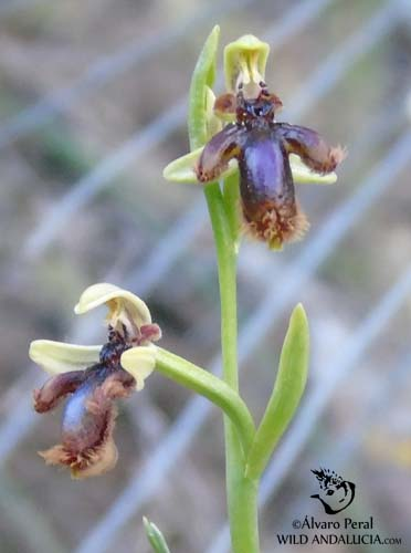 Orchid Ophrys speculum lusitanica