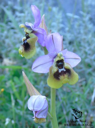 Ophrys tenthredinifera in Andalucia