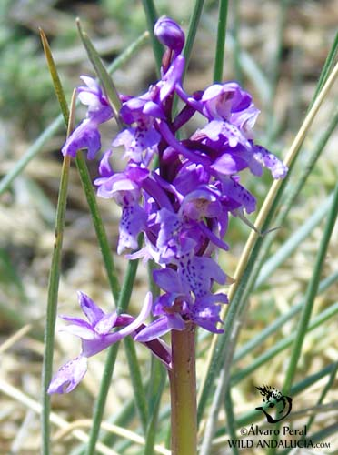 Orchis Olbiensis in Andalucia