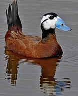 white headed duck and waders in andalucia
