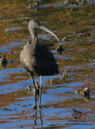 glossy ibis in la mancha spain