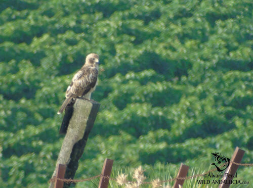 booted eagle in the wetlands of cadiz