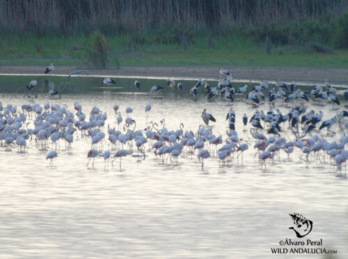 flamingos and white storks in the laguna de medina