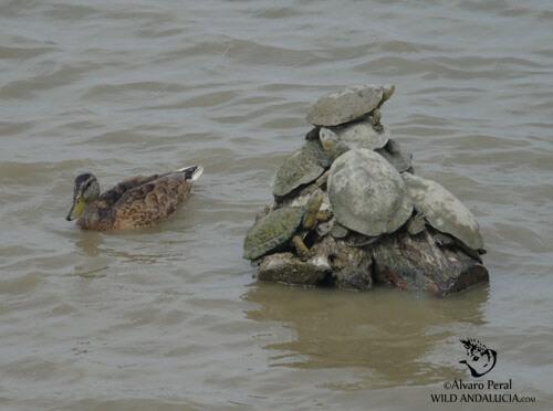 gadwall in cadiz lagoons