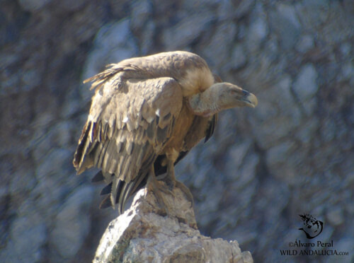 griffon vultures and black vultures in spain