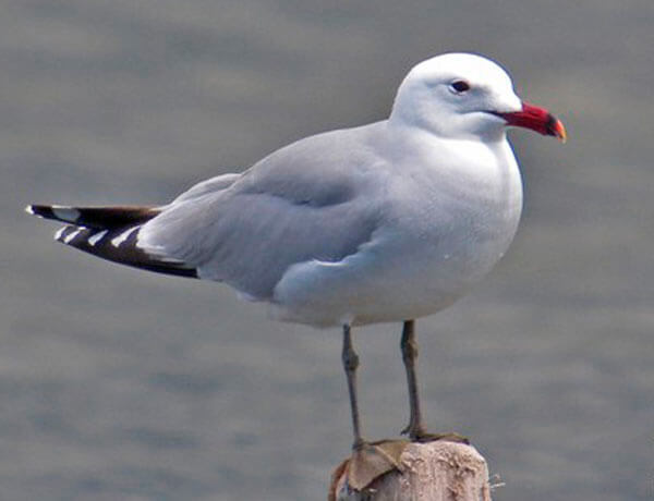 Audouin's Gull in Andalucia