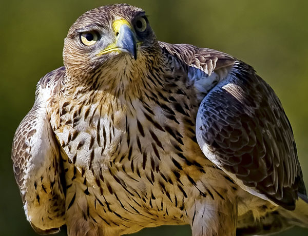 birding tour for bonelli eagle