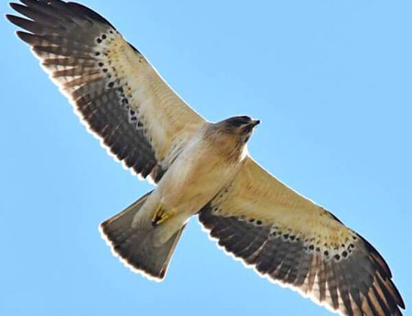 Booted eagle in Andalucia, Spain