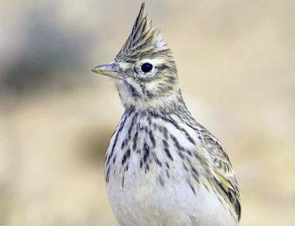 birding in Andalucia we saw a thekla lark