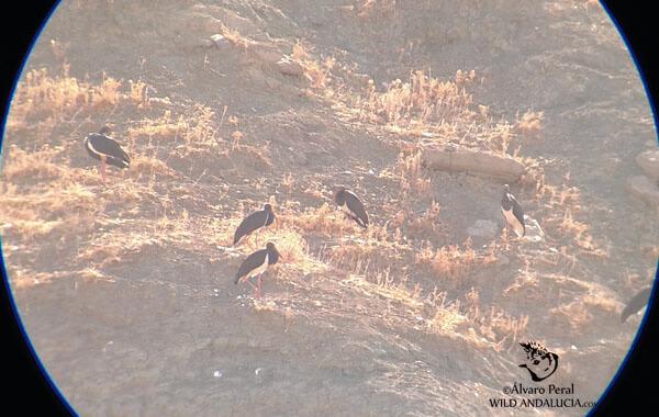 black storks in southern Spain