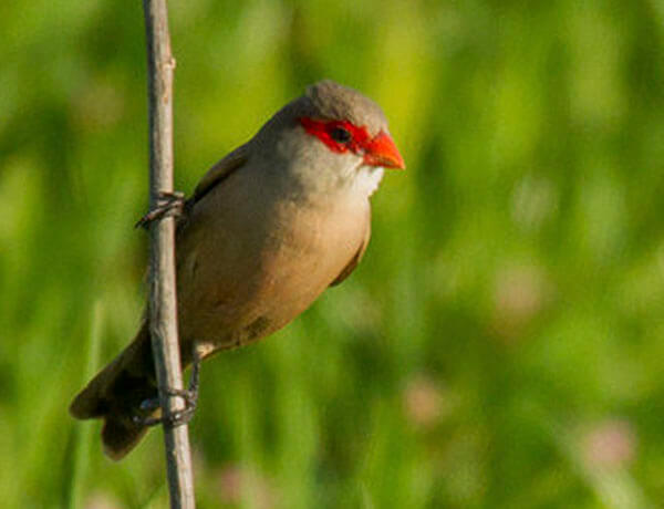 Wild waxbill in the guadalhorce, Spain