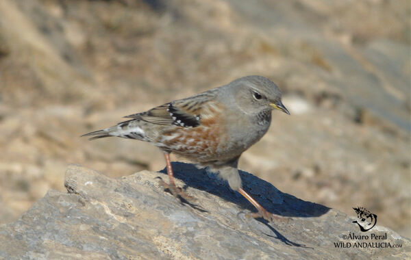Birding in Sierra de las Nieves