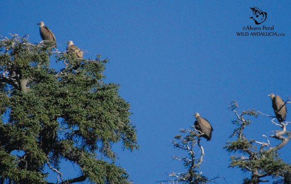 Vultures and Firs near Ronda, Andalucía