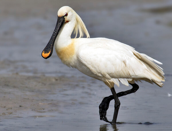 Spoonbill in south west iberia