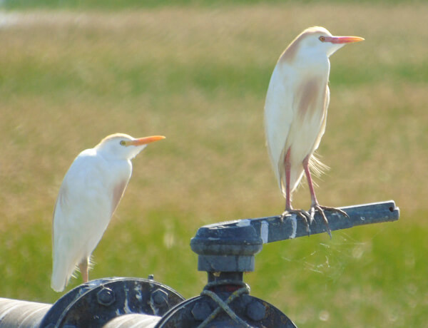 pair of cattle egrets in the colony