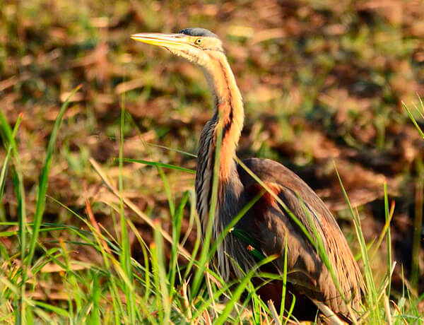 purple heron in donana