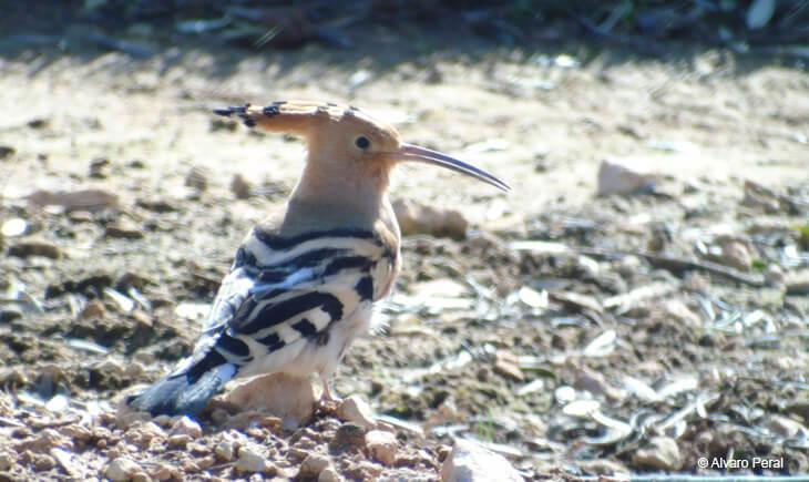 upupa epops birding