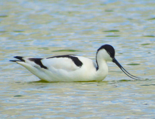 avocet in spain