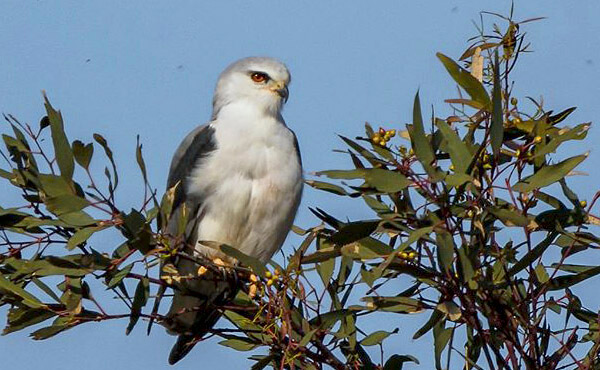 where to see black winged kite in spain