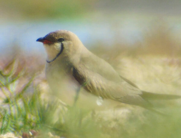 pratincole colony in spain