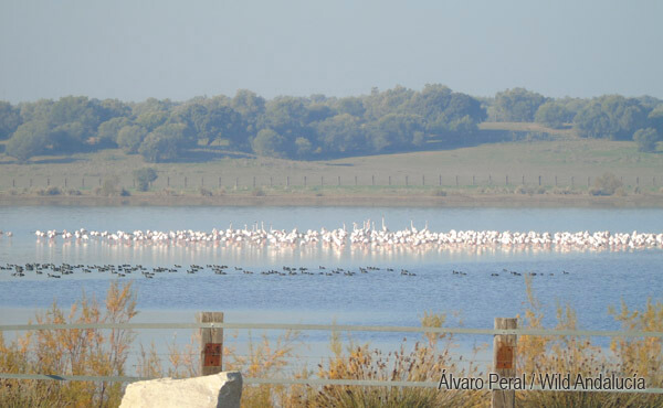 flock of flamingoes in coto doñana