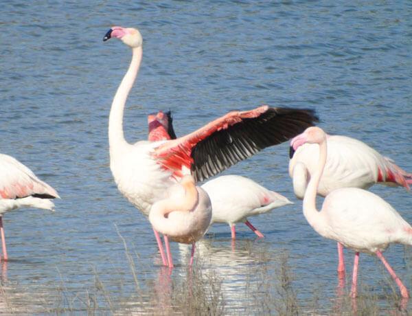 biggest flamingo colony spain
