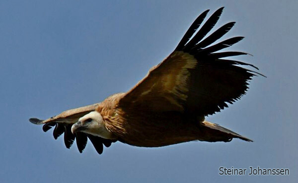 griffon vulture crossing the strait of gibraltar