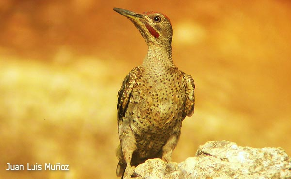 spanish green woodpecker features