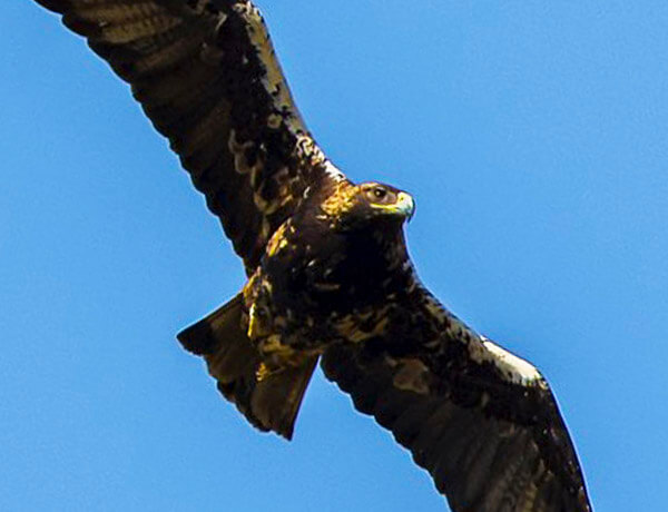 spanish imperial eagle flying over la janda near Tarifa