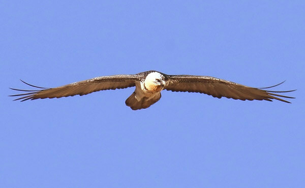 bearded vulture in cazorla andalucia
