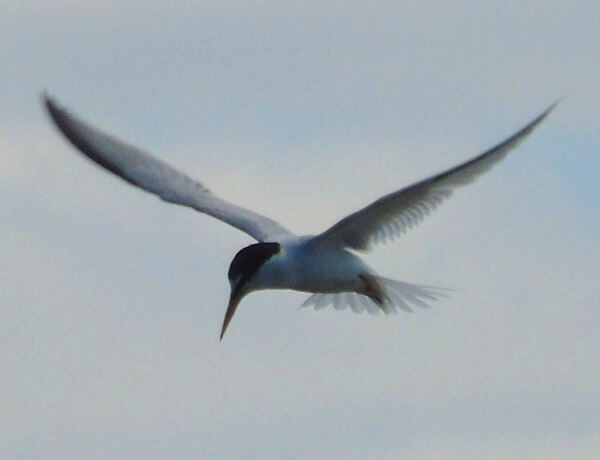 little tern in cadiz