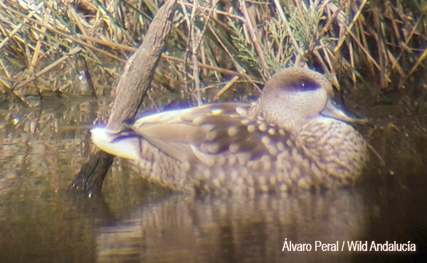 population marbled teal spain