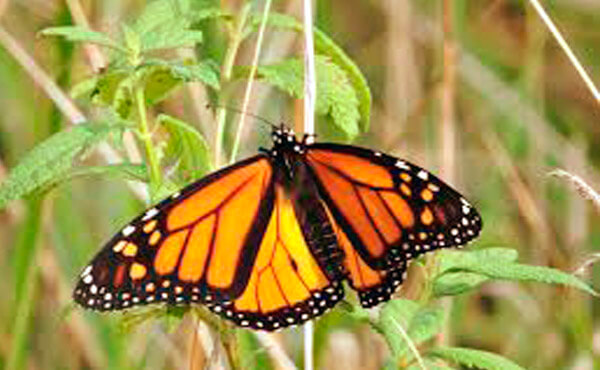 where to see monarch butterfly in spain