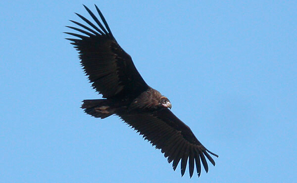 monk vulture monfrague estremadura