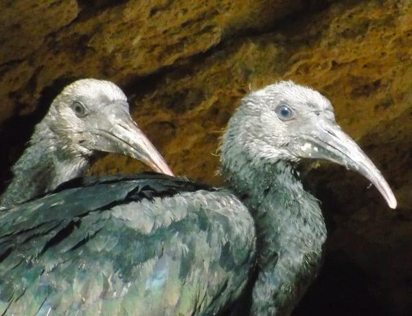 bald ibis near la barca de vejer