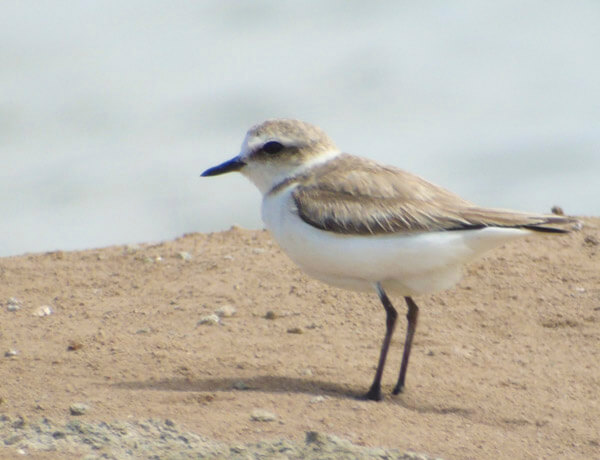 kentish plover while birding in tarifa